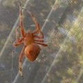 cat_faced_spider_ojai