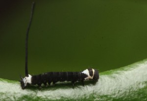 Possible Early Instar Hornworm