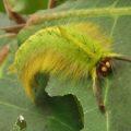 caterpillar_tanzania_corvus