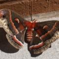 cecropia_moth_jenn