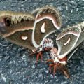 cecropias_mating_misty