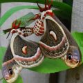 cecropias_mating_sandy