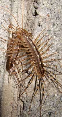 house centipede eats house centipede survival of the fittest what 39 s that bug. Black Bedroom Furniture Sets. Home Design Ideas