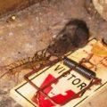 centipede_eats_mouse