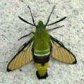 cephonodes_hyles_japan