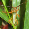 cerambycidae_green_puerto_rico