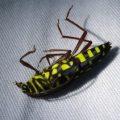 cerambycidae_guatemala_john