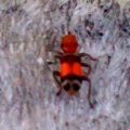 checkered_beetle_florida