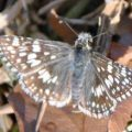 checkered_skipper_ellen