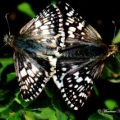 checkered_skippers_mating_mauricio