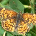 checkerspot_ford