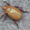 christmas_beetle_australia_elise