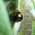 chrysomelidae_hawaii_dasi