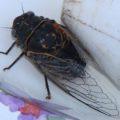 cicada_angela