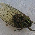 cicada_bhutan