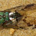 cicada_brazil_emma