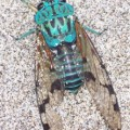 cicada_costarica_tori