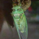 cicada_emerged_texas