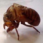 cicada_exuvia_carly