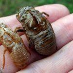 cicada_exuvia_comparison_lisa