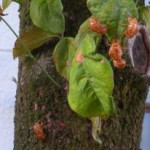 cicada_exuvia_japan_talia