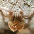cicada_exuvia_south_africa