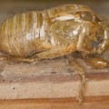cicada_exuvia_victor