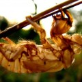 cicada_exuviae_croatia