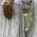 cicada_hollie