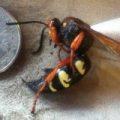 cicada_killer_carnage_christoper