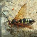cicada_killer_david