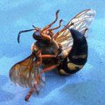 cicada_killer_dead_sue