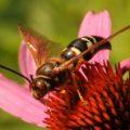 cicada_killer_deborah