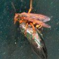 cicada_killer_eats_cicada