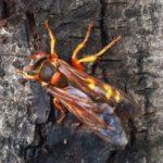 cicada_killer_howard