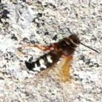cicada_killer_illinois
