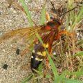 cicada_killer_joe