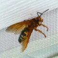 cicada_killer_lc