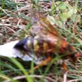 cicada_killer_prey_dan