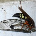 cicada_killer_prey_dc