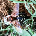 cicada_killer_prey_texas