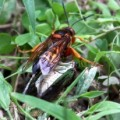 cicada_killer_tacoma_park_006