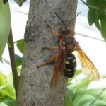 cicada_killer_vandy