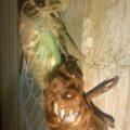 cicada_metamorphosis_amanda