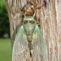 cicada_metamorphosis_eddie