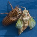 cicada_metamorphosis_france_pat