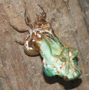 Cicada Metamorphosis In Mexico What S That Bug
