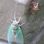 cicada_metamorphosis_michigan