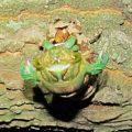 cicada_molting