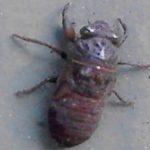 cicada_nymph_mh